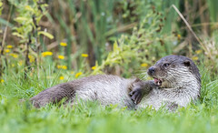 Otter (Lutrinae - Lutra lutra) (sfrancis23) Tags: otter lutrinae nikon 70200mm nature wildlife grass green animal d5 flowers