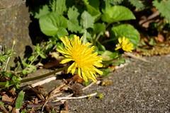 Treppenflora (Sockenhummel) Tags: lwenzahn fuji x30 fujifilm finepix fujix30 natur berlin spandau kladow nature havel