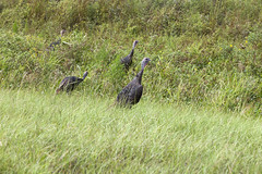 KSC-20160830-PH_JBS02_0003 (NASAKennedy) Tags: wildlife wildturkeys