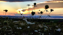 Grand Pre sunset (halifaxlight) Tags: canada annapolisvalley grandpre sunset sea queenanneslace wildcarrot summer clouds landscape silhouettes greatphotographers