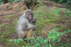 Memory  Pantaxk30 (Johnson Amyc) Tags: animal monkey green 猴子 旅游