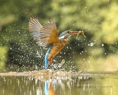 The Dance (3) (pixellesley) Tags: kingfisher bird alcedoatthis mammal animal hunting prey fish fishing birdwatching hide wild marsh water river diving reflection dancing ballet