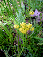 Bradshaw's Lomatium (mypubliclands) Tags: threatenedspecies endangered wildlife bureauoflandmanagement biology