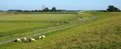 Deich Ostfriesland (AstridSusann) Tags: deich ostfriesland schafe september 2016 germany weite gegend outdoor