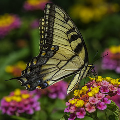 Butterfly_SAF0909-3 (sara97) Tags: black butterfly copyright2016saraannefinke easterntigerswallowtail flyinginsect insect missouri nature outdoors photobysaraannefinke pollinator saintlouis swallowtail towergerovepark urbanpark yellow papilioglaucus