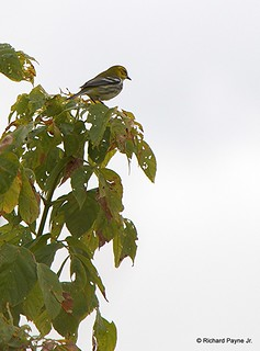 Black-throated Green Warbler_N8459_5665.NEF