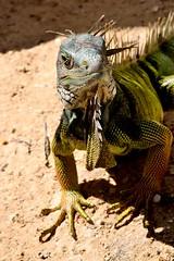 Bao de sol (Felix L Ortega) Tags: iguana playa beach nikond3100 nikon sun sol lizard animal airelibre reptil