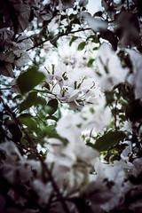 IMG_3967 (Herbert Barbosa) Tags: wild hyacinth southern california wildflowers bokeh macro flower flowers purple mothers day profundidade de campo serenidade ao ar livre moldura foto