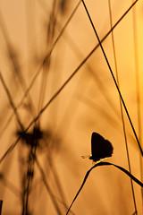 IMG_7495 (adrien.pcctt) Tags: papillon insecte argusbleu