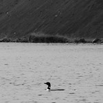 Great Northern Diver, Myvatn, Iceland thumbnail