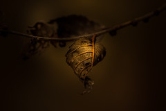 Spiraling Down (Paul Barson) Tags: light macro green fall leaves dark leaf autumngold