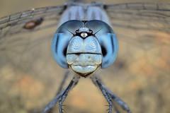 Blue-Faced Skimmer | Micrathyria aequalis (Hagen, 1861)