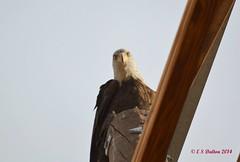 December 24, 2014 - A bald eagle along the South Platte in Thornton. (Ed Dalton)