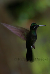 Humming Bird (Ken Meegan) Tags: bird costarica hummingbird monteverdecloudforest 12102008 monteverderainforest