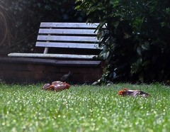 Morning Frost (DncnH) Tags: morning autumn mushroom grass rain garden frost lawn fungi dew melton