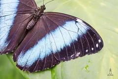 I´m blue (hartp) Tags: blue black green butterfly münchen deutschland grün blau botanicgarden schwarz munic schmetterlinge schmetterling botanischergarten hartp