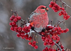 Durbec des sapins - Pine Grosbeak (Marie-Josée Lévesque) Tags: winter canada male bird nature wildlife hiver québec oiseau pinegrosbeak faune 2015 durbecdessapins