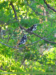 Pied Kingfisher (Ceryle rudis) (gilgit2) Tags: pakistan birds geotagged wings wildlife feathers location species category avifauna islamabad cerylerudis rawallake piedkingfishercerylerudis imranshah