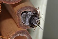 Megachile punctata (Black Resin Bee) IMG_5039AA (Kool bee) Tags: bees megachilidae punctata ballandean megachile australiannativebees