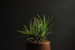 Tillandsia (Lynn Wen (pandadd)-BUSY!) Tags: plant green nature nikon tillandsia fuego ionantha airplant 105mm afsvrmicronikkor105mmf28gifed nikond810