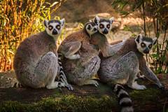 Eine glückliche Familie (Fotos4RR) Tags: family animals linz zoo austria tiere österreich familie lemur oberösterreich tiergarten katta upperaustria zoolinz flickrbronzetrophygroup ruby5 tiergartenlinz