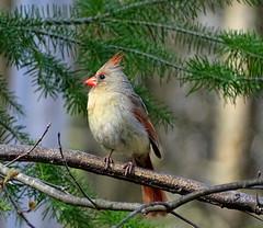 Mrs. Cardinal (Krittergirl) Tags: nature birds critters cardinals myyard femalecardinals
