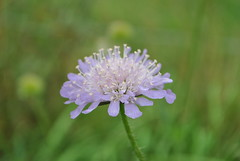 Knautia arvensis Thornhill Aug 2013 (Aidehua2013) Tags: knautia arvensis dipsacaceae caprifoliaceae dipsacales plant fieldscabious thornhill westyorkshire uk flower