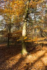 Light and Shadows (martinstelbrink) Tags: leica autumn fall leaves forest 35mm germany sony laub herbst foliage summicron nrw wald bltter nordrheinwestfalen herbstlaub kaldenkirchen grenzwald a7r leicasummicron35mmf20i borderforest alpha7r leicasummicron35mmf20preasph voigtlndervmeclosefocusadapter