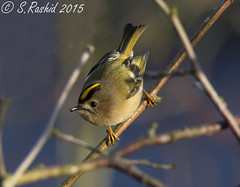 Goldcrest (Bishopbriggs and Glasgow Wildlife) Tags: winter wild bird canon gold glasgow january sigma crest bbc british goldcrest bishopbriggs 2015 60d winterwatch 120400mm