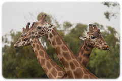 Giraffes in the rain (Craig Jewell Photography) Tags: rain zoo australia nsw newsouthwales giraffe taronga dubbo westernplainszoo f40 200mm 2015 iso250 westernplains 0ev sec canoneosm canonfdn200mmf4macro 321640s1483455e filename20150105105517mg9857cr2