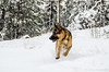23122014-_DSC2514 (Linus_west) Tags: dog snow playing running hund springer snö leker karis kamu