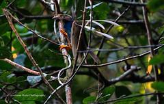 Standardwing Bird of Paradise, Semioptera wallacii,   male, North Moluccan Endemic, (Graham Ekins) Tags: male indonesia lek lembeh 6627 6691 6770 6530 semiopterawallacii standardwingbirdofparadise divinglodge canon1dmkiv grahamekins northmoluccanendemic canon300mmf28iii easternhalmahera semiopterawallaciihalmaherae
