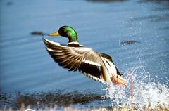 game bird duck mallard waterfowl