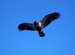 Immature eagle Westmeath
