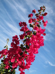 Pink Bougainvillea (enjosmith) Tags: pink blue sky white clouds bougainvillea