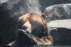 Big  Grizzly claws with chew toy (kate.zdenek) Tags: bears grizzly brookfieldzoo grizzlybear
