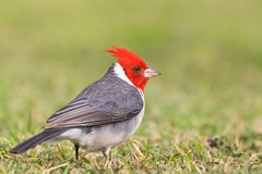 Red-crested Cardinal  (Paroaria coronata) (sp. # 45) (s_uddin59) Tags: hawaii oahu kualoa redcrestedcardinal kualoaregionalpark