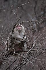 D (kenta_sawada6469) Tags: nature japan japanesemonkey japanesemacaque mammal mammalia mammals winter macaque animal wildlife mountain