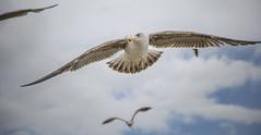 Fly (www.giorgiopuddu.com) Tags: travel sky portugal nuvole lisboa seagull volo explore gabbiano lisbona portogallo uccello volare d3100