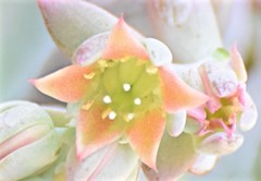 The Warmth of Spring (The Spirit of the World) Tags: california cactus usa plant abstract flower macro nature america garden spring soft sandiego warmth dreamy highkey abstractfloral