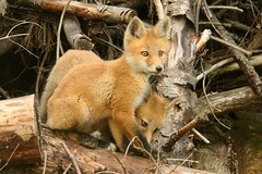 Baby Foxes (Vulpes vulpes) (Steve Byland) Tags: baby canon fox 7d kits foxes markii vulpes