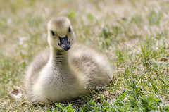 Cute & Fluffy Gosling (rockymtnchick) Tags: gosling goose canadagoose geese canada canadian wildlife nature baby young cute fluffy nikon d7000 may 2016 calgary alberta bird birds