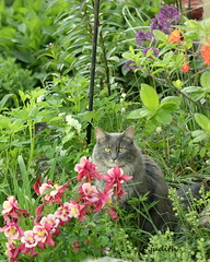 the colorful jungle (judecat (getting back to nature)) Tags: flowers cat feline sally columbine catingarden longhairedgreycat