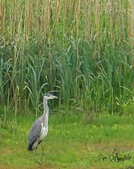 Brandon Marsh (amandabhslater) Tags: lake water birds naturereserve greyheron brandonmarsh