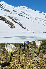 Alpine Crocus - Lac du Lou - Savoie - France (Felina Photography) Tags: trip schnee wallpaper mountain lake snow france alps tourism ice nature montagne poster landscape snowshoe lago photography see frozen frankreich meer fotografie photographer tour hiking sneeuw natuur lac natura crocus hike adventure neve snowshoeing neige ausflug frankrijk alpen fotografia savoie gita excursions paysage turismo alpi francia valthorens montagna paesaggio hotspot excursion tourismus landschap fotografo  fotografa uitje ijs ghiaccio felina  excursie rhnealps racchette  toerisme escursione  ghiacciato tocht escursioni turismus lacdulou felinaphotography felinafoto