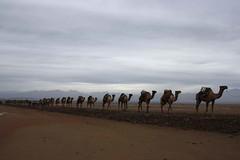 IMG_1768a (photoa99) Tags: africa depression caravan ethiopia camels afar danakil denakil