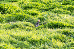 Can he see me? (140/366) (AdaMoorePhotography) Tags: england sun rabbit green nature grass animal grey evening spring nikon day natural wildlife sunny hide will essex 366 200500mm d7200