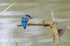 Kingfishers (alcedo atthis) (phat5toe) Tags: nature birds nikon wildlife feathers kingfisher penningtonflash avian wigan alcedoatthis greenheart d7000 sigma150500