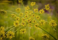 Bursting (Nutzy402) Tags: wild flower nature yellow spring nikon nebraska pattern wildflowers burst natureconservancy