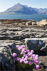 Sea Pinks in the Breeze_0548 (The Terry Eve Archive) Tags: sea mountains skye rocks cuillins elgol seapinks lochscavaig